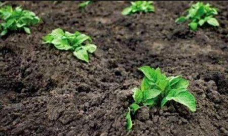 Сроки посадки картофеля в Подмосковье