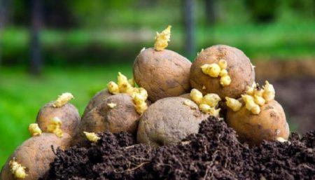Когда сажать картофель в мае 2021 года: благоприятные дни