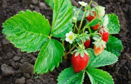 Как и чем нужно подкормить клубнику во время цветения