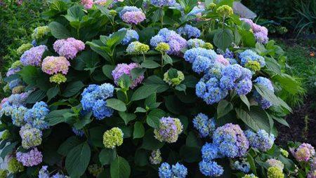 Чем подкормить гортензию для пышного цветения в саду в любое время года