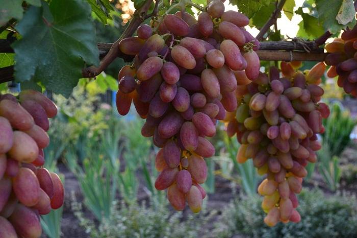 Виноград преображение обрезка