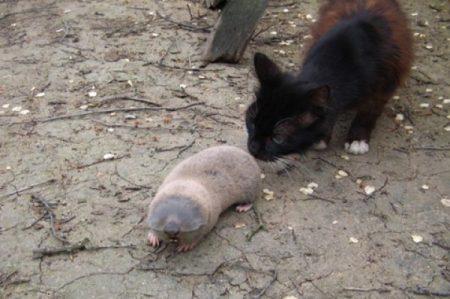 Кот может охотится на слепишей и кротов