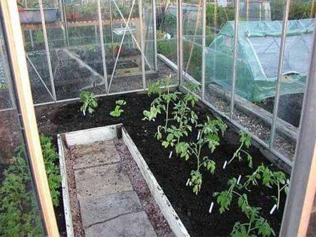 Посадка томатов в теплице