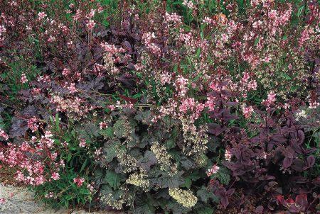 Гейхера мелкоцветковая