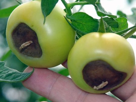 Гниение помидоров