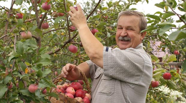 мужчина обирает яблоки