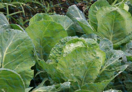применение для капусты