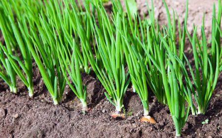 Зеленый лук на грядке