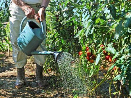 Мужчина поливает помидоры
