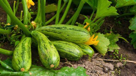Зеленые кабачки на огороде
