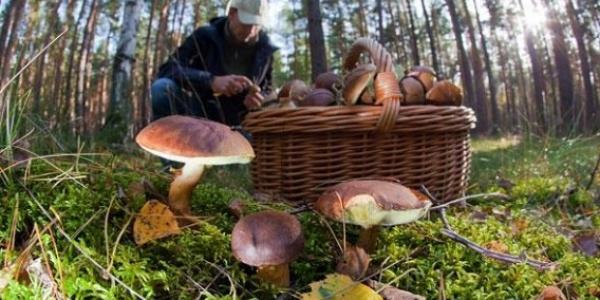 Когда в этом году пойдут грибы в Подмосковье