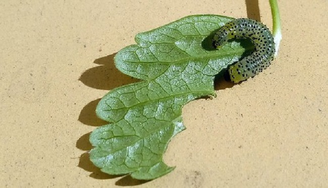 гусеница на листке