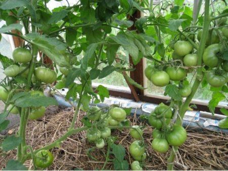 Урожай зеленых томатов