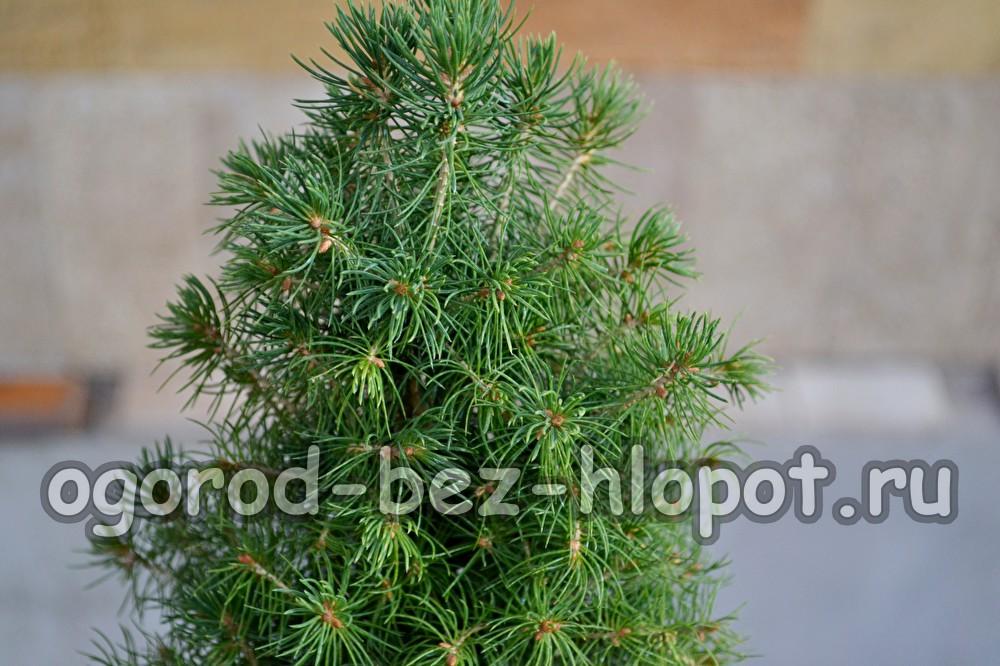 Карликовая елка, уход и посадка