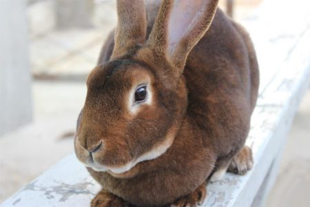кролик для меха