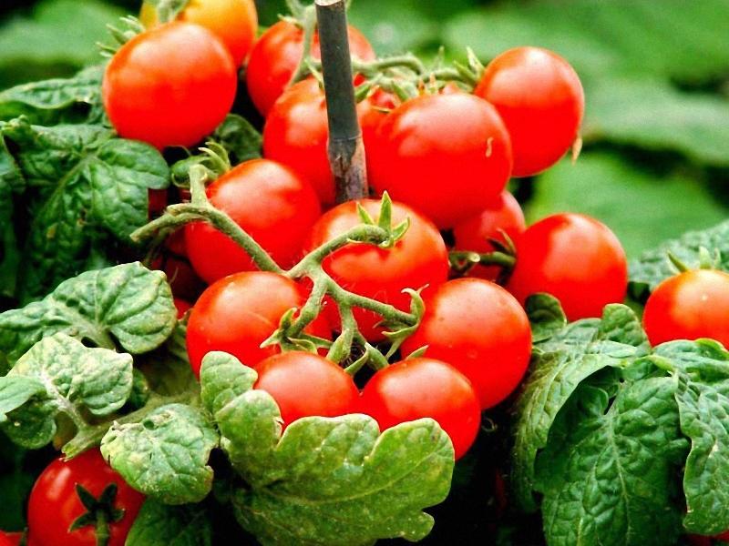 Ленивые помидоры