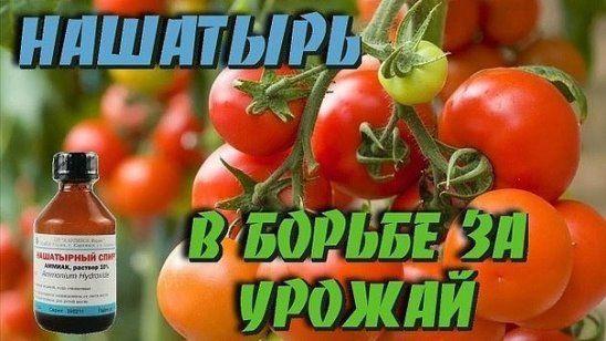 Нашатырь для помидор