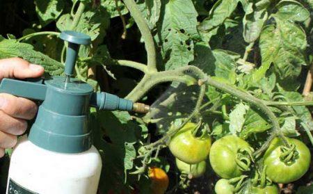 Обработка нашатырем помидор 4