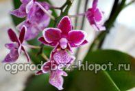 Орхидея, выявляем болезни