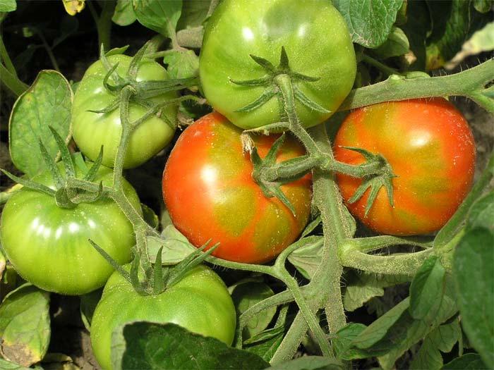 красные и зеленые помидоры на ветке