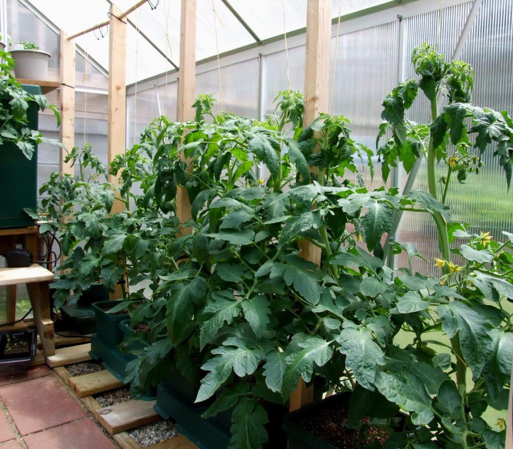 Большие кусты томатов в теплице