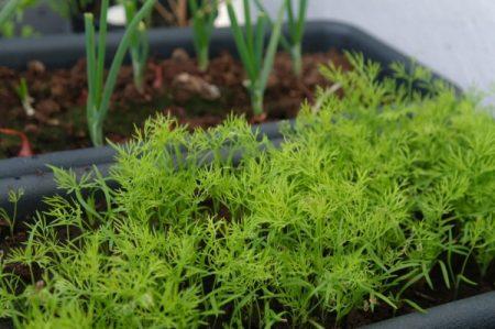 Выращиваем укроп на балконе