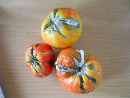 плохие томаты