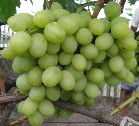 виноград азора