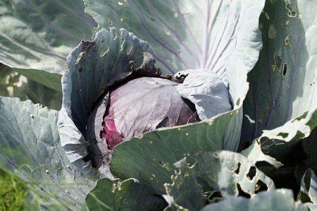 У капусты фиолетовые листья что делать почему в чем причина