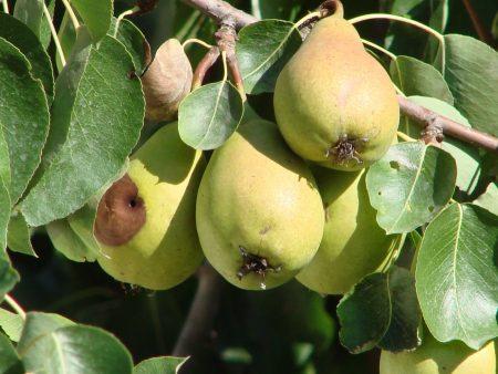 Плоды груши гниют на дереве что делать и в чем причина меры борьбы с болезнью