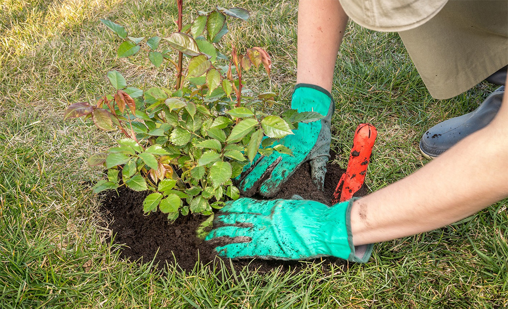 Как сажать розы в открытый грунт в августе и сентябре в разных регионах страны
