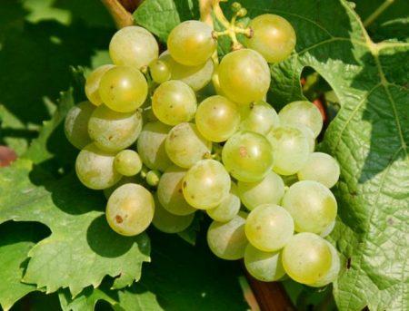 мускат виноград