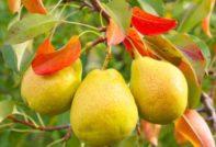 Красные листья груши