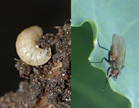 Появление мух