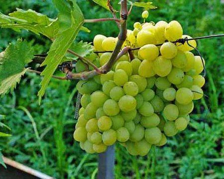 Виноград вишенка описание