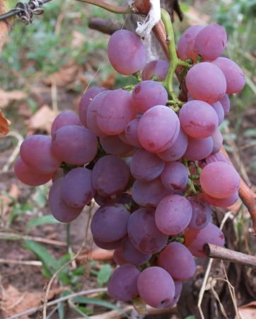 Виноград Ватикан