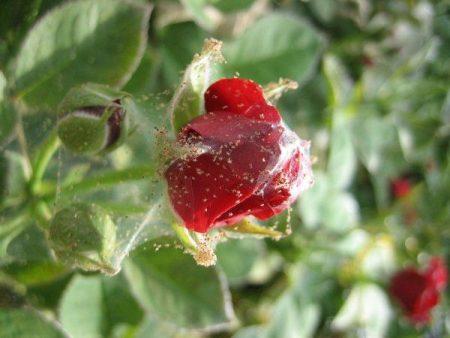 роза в паутине