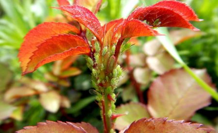 Почему желтеют и опадают листья у розы в июле, что делать и чем подкормить