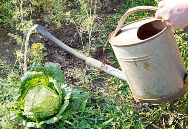 поливать капусту