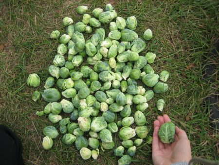 посев брюссельская капуста
