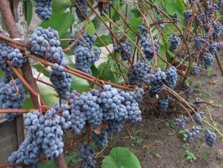 Подарок Шарова виноград описание
