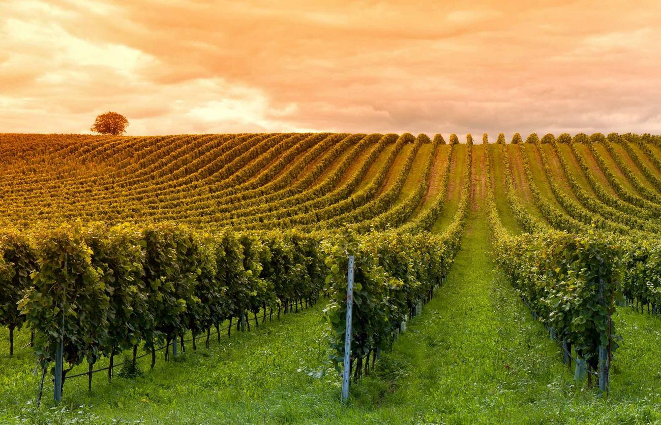 Формирование винограда гюйо