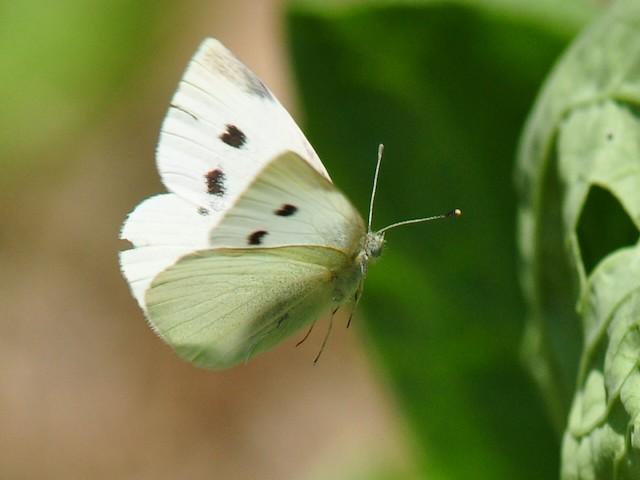 бабочка капустница вредитель