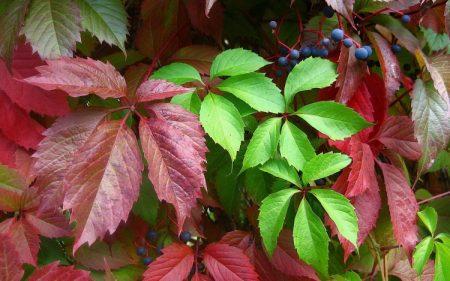 Как размножить девичий виноград: 3 верных способа