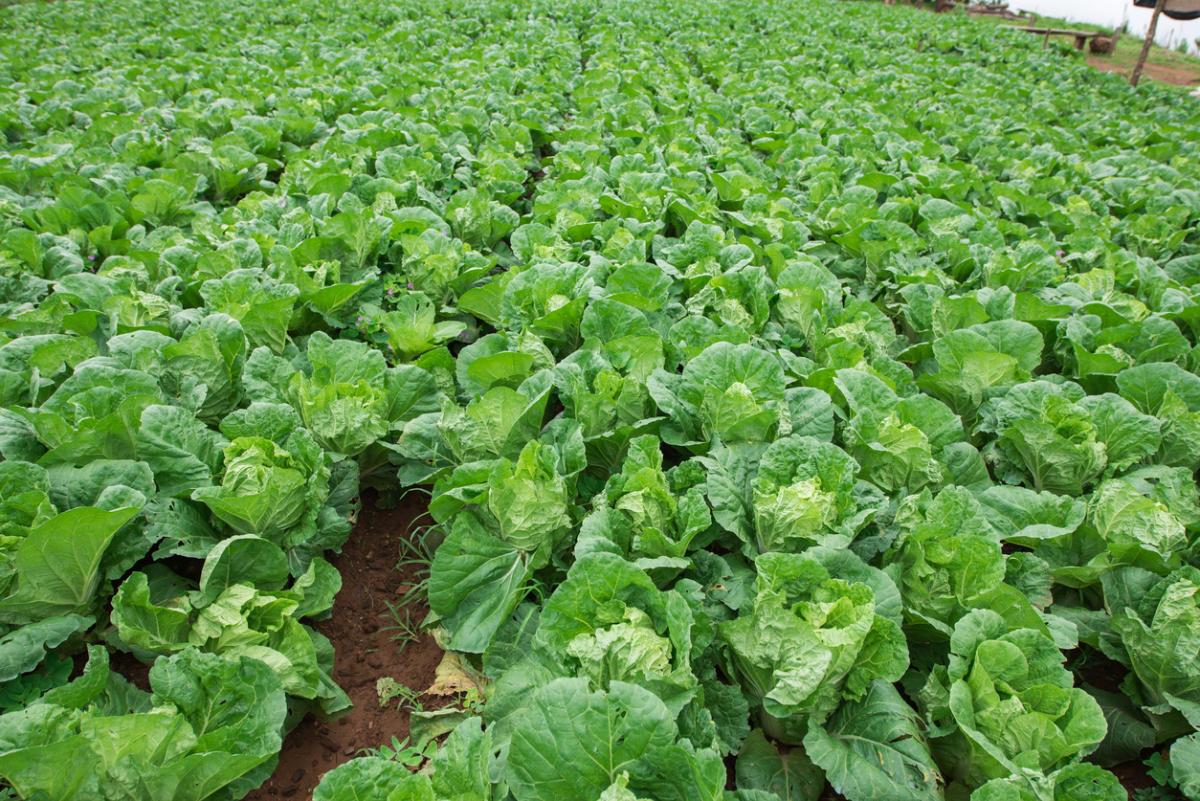 как вырастить шпинат в теплице ранней весной