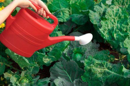 полив капусты