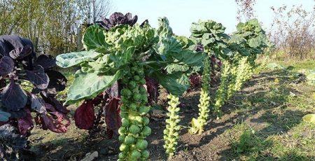 Брюссельская капуста: выращивание и уход в открытом грунте