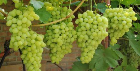 Описание винограда сорта Краса балок