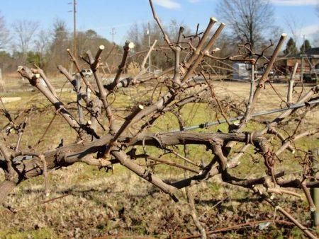 Вертикальная обрезка винограда