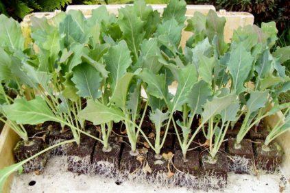 уход за рассадой кольраби